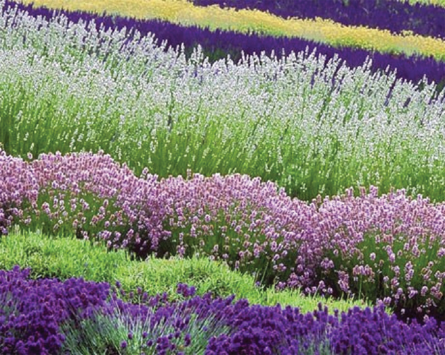 Top 9 Qualities Benefits Of Lavender Ritual Waters