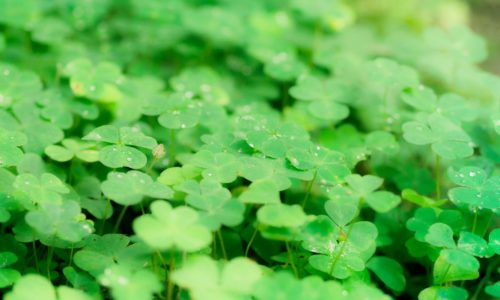 four-leaf-clover-gene